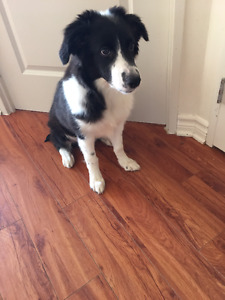 5 month Border Collie Puppy sell.  Have done full Vaccinations.