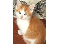 Male ginger and white kitten