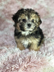 Morkies puppies  for sale