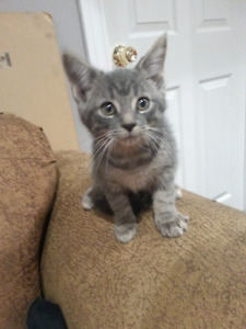 3  10 week old kittens! Russian blue and mainecoone mix