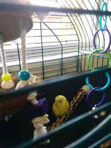 Baby budgie, cage, food and all accessories Peterborough Peterborough Area image 2