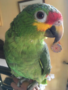 Tame Red-lored Amazon Parrot