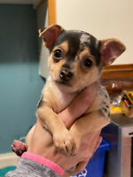 **1 MALE LEFT** PUREBRED CHIHUAHUA PUPPIES **AVAILABLE NOW**