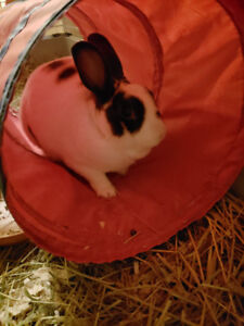 A Donner  Lapin nain hypoallergene