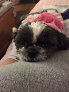 Lost small black and white dog Lowbanks