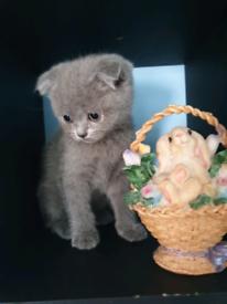 British shorthair | Cats & Kittens for Sale - Gumtree