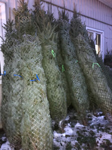 Fresh Cut Christmas Trees Delivered Orangeville Caledon Area