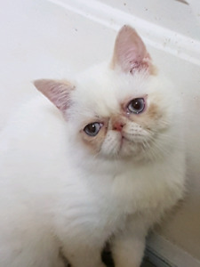 Flame point exotic shorthair female