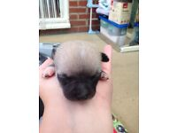 Chihuahua Puppys puppies blues. Black/ tan 2 left