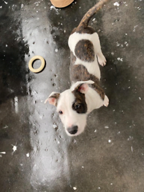 Jack russell x Staffy for sale