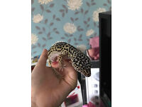 Two female leopard geckos/ 4ft tank and stand
