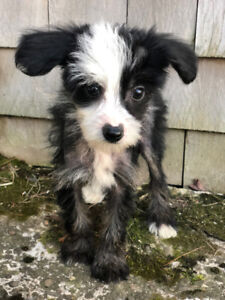 Chinese Crested Hairless ready now..
