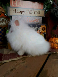 FREE to Loving Home Double Maned Lionhead