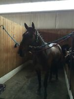 Handsome sport horse gelding for sale