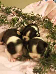 Boston terrier puppies Strathcona County Edmonton Area image 2