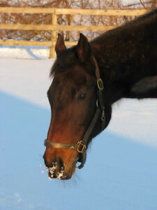 Beautiful 15 year old bay thoroughbred mare
