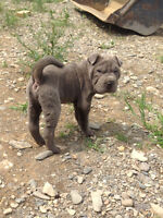 One blue male chinese shar pei pup left!!!!
