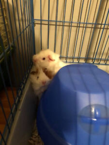 Re-homing 2 free female guinea pigs