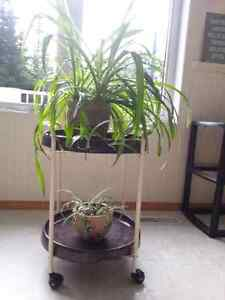 Large Spider Plants in assorted decorative pots Prince George British Columbia image 2