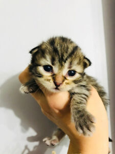 Purebred Siberian Forest Cat Kitten Available
