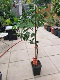 Rare arancia sciara blood orange plant tree flower citrus not lemon