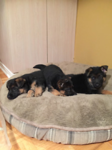 Top Quality German show line female German Shepherd Puppies