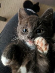 Kittens, affectionate, orphaned at 2 weeks, trained
