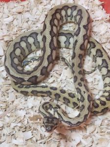 Proven het albino carpet python Jag