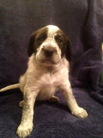 Puppies GWH Pointer cross