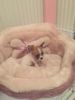Gorgeous Tiny Chihuahua for sale