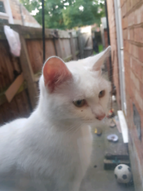 8 month female pure white cat
