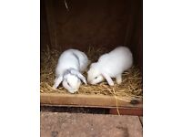 Two 6 month old male rabbits