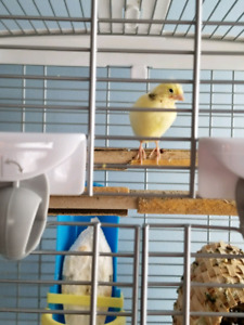 3 Canaries for Sale 3 weeks old