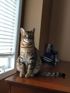 Purebread Bengal Cat For Rehomming - 1.5 yo, Super friendly