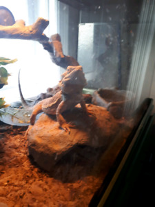 13 month old bearded dragon for sale