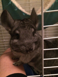 Two Chinchillas Looking For a New Home