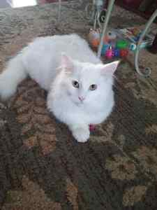 White, Very Playful, Very Cute, Main Coon Cross and Lovely