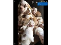 8 stunning America bull dog puppies for sale