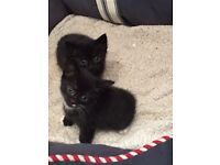Cute black and white kittens for sale