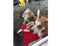 German Shepard X Staff Puppy
