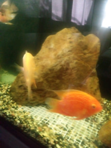 Red Severum Cichlid