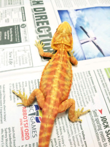 Beautiful juvenile bearded dragons available