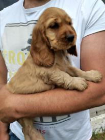 Cocker spaniel show type puppy girl