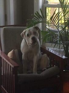 Purebred American Bulldog Pups Belleville Belleville Area image 7