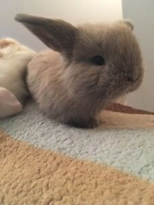 BLUE EYE HOLLAND LOP BABY BUNNIES( reduced price )!