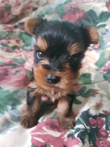 Yorkie male puppies- 1 is now sold