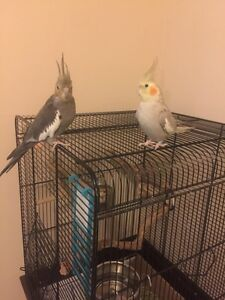 Two cockatiel  with cage