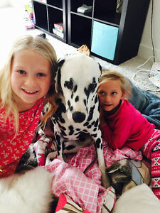 Wonderful Dalmatian needs a new Forever Home!