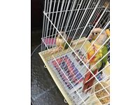 2 pineapple conure for sale