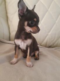 Chihuahua chocolate bitch
